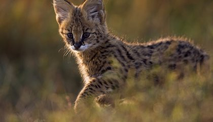 Ten Amazing Small Wild Cats