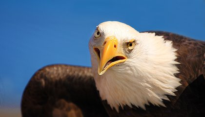 Now's the Time to See Hundreds of Bald Eagles