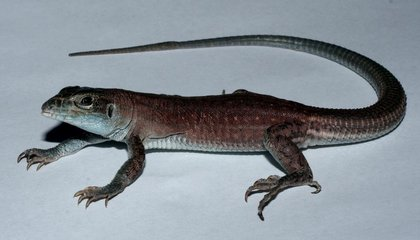This New Lizard Species Evolved in a Lab