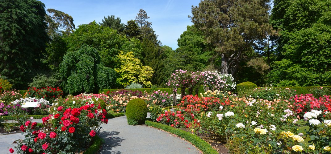 The Rose Garden at the Botanical Gardens, Christchurch