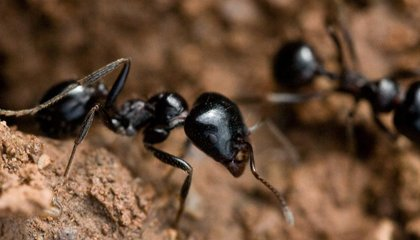 Despite Their Industrious Reputation, Some Ants Are Super Lazy