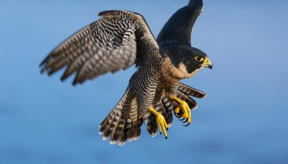 Drones Are Teaching Falcons How to Hunt
