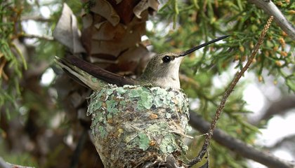 Hawks Act as Unwitting Muscle for Hummingbirds