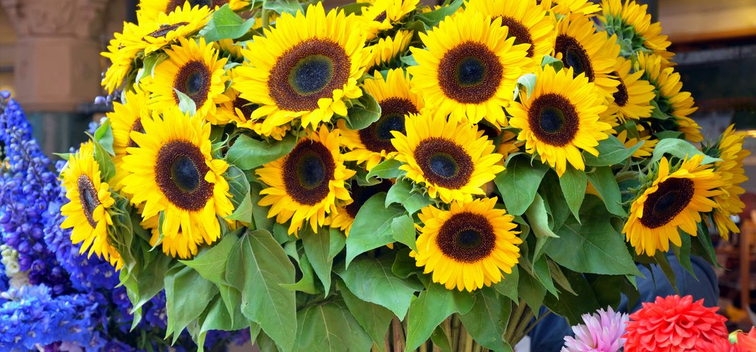 Sunflowers, a common flower of southern France
