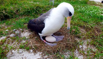 Wisdom the Oldest Known Albatross Is Having Another Baby