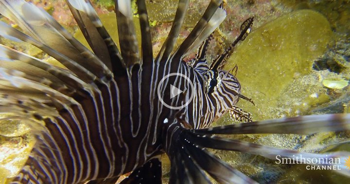 Caption: Https://Thumbs-Media.Smithsonianmag.Com/Filer/71/6E/716E193D-Bc45-4823-8452-Ee510E5Ad714/0_0_3437500_Eps03_Lionfish_Yt-Bb-V1.Jpg__720X380_Q85_Crop_Upscale.Jpg