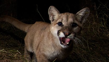The Real Cougars of Malibu Have Lives Full of Murder, Bad Sex and Poison