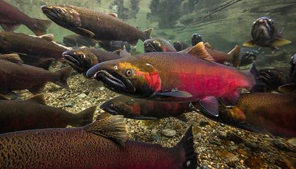 What Can Humans Do to Save the Pacific Northwest's Iconic Salmon?