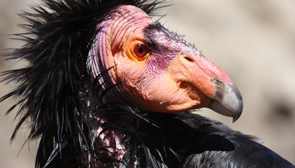 Humans Still Threaten Endangered Condors