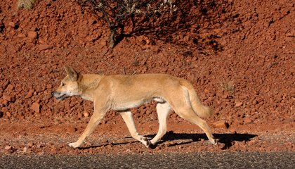 Maybe Dingoes Don't Deserve Their Bad Rap