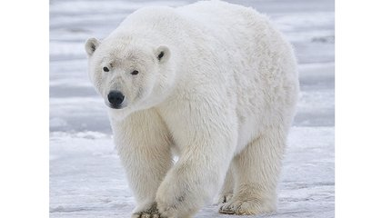 "Resupply Helps Trapped Arctic Scientists Scare Off Polar Bear ""Siege"""