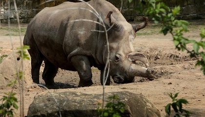 Only Four Northern White Rhinos Are Left on Earth