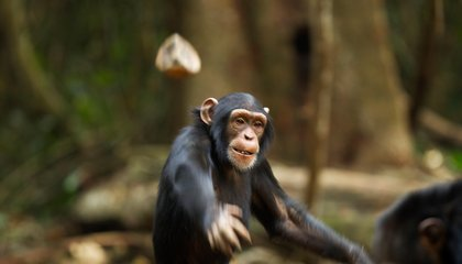 "Chimps May Be Performing Rituals at ""Shrine Trees"""