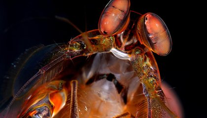 A Mantis Shrimp Inspires a New Camera for Detecting Cancer