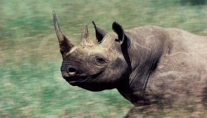 In an Effort to Stop Poaching, Namibia Will Remove All of Its Rhinos' Horns