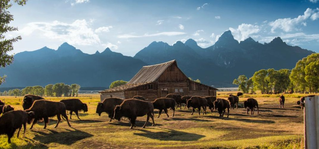 Herd of bison with Grand Tetons in the background. Credit: Marco Crupi