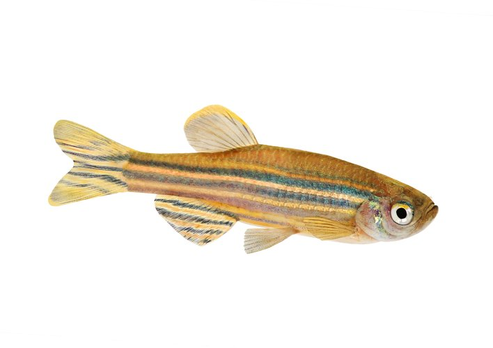 Caption: Could Zebrafish Teach Us to Cure Blindness?