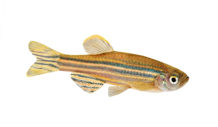 Could Zebrafish Teach Us to Cure Blindness?