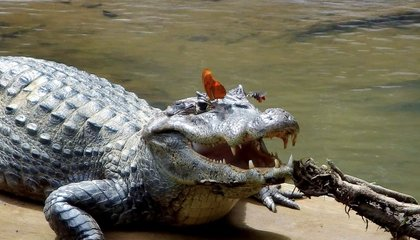 Butterflies And Bees Drink Crocodile Tears