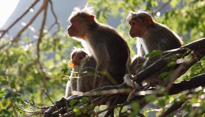Scientists Connect Monkey Brains and Boost Their Thinking Power