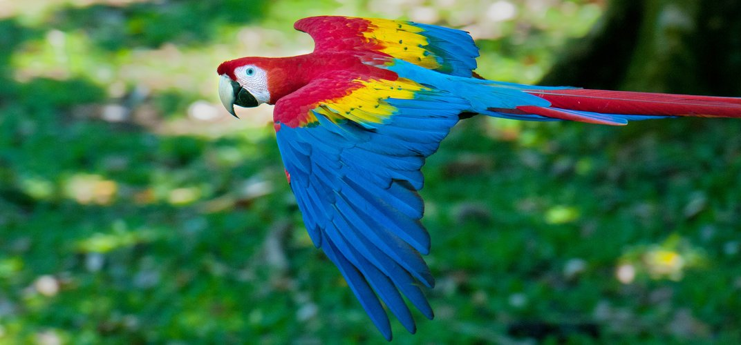 The scarlet macaw. Credit: Harvey Abernathey