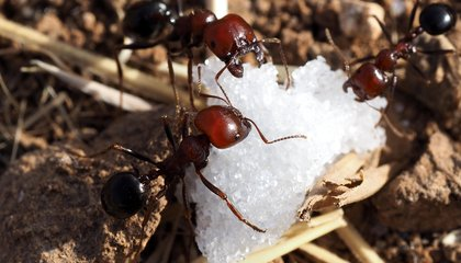 Addict Ants Show That Insects Can Get Hooked on Drugs, Too