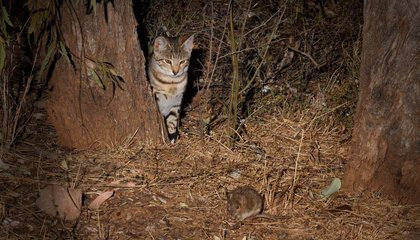 In Australia, Curiosity® Really Will Kill Feral Cats