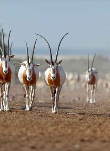 Caption: These Oryx Were Born to Be Wild
