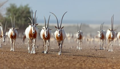 Smithsonian Researchers Are Bringing the Oryx Back to the Wild