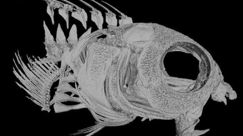 This blenny skeleton shows off the tiny creatures' big fangs.