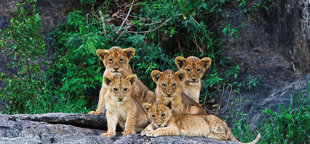 Group of lion cubs. Credit: Andy Biggs