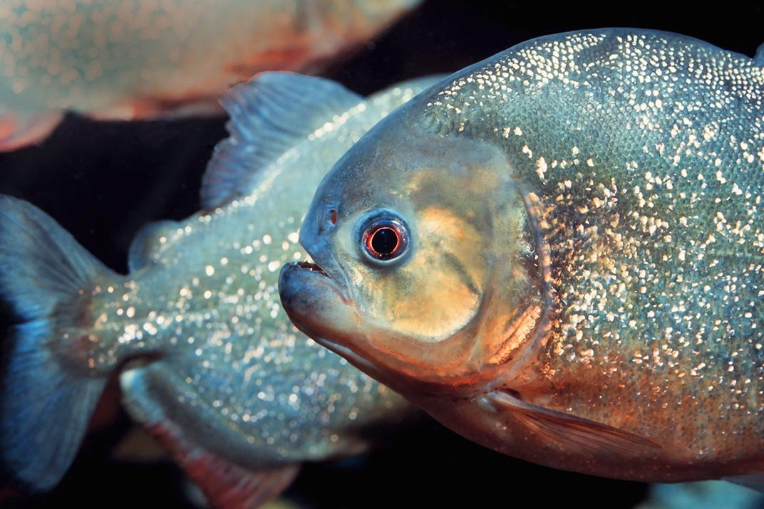 14 Fun Facts About Piranhas | Science | Smithsonian