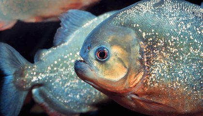 14 Fun Facts About Piranhas