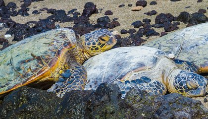The Strange Reappearance of the Once-Vanished Green Sea Turtle