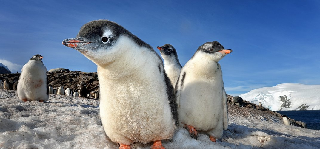 """A group or """"waddle"""" of penguins. Credit: Max Seigal"""