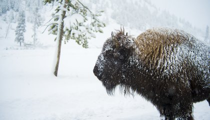 Why Is Anyone Opposed to Reintroducing American Bison to the Wild?
