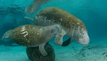 Manatees Move From Endangered to Threatened