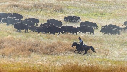 South Dakota's Buffalo Roundup Is Pure Americana Spectacle
