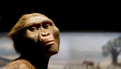 Lucy the Australopithecus Turns 41 (Plus 3.2 Million Years)