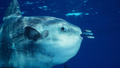 Goofy Looking Ocean Sunfish Are Actually Active Swimmers and Predators