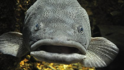 """Cod May Have Regional """"Accents"""" That Could Spawn Trouble When Breeding"""