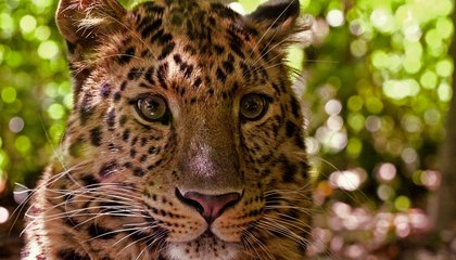 The Population of a Rare Leopard Has Nearly Doubled