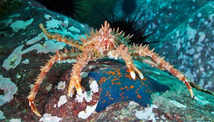 King Crabs Are About to Take Over Antarctica
