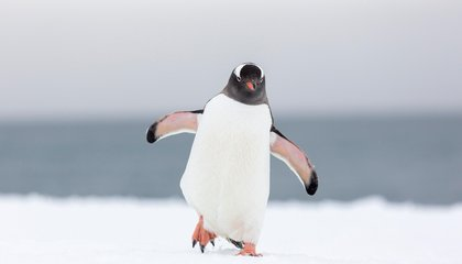 The Cold May Have Cost Penguins Most of Their Taste Buds