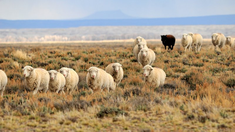 Twice a year, sheep trail past Seedskadee National Wildlife Refuge in Wyoming, as they have for generations. Sheepherders on horseback, their sheep wagon, and their dogs move with the sheep to keep a watchful eye on them.   Southwest Wyoming's relatively undeveloped landscape is also prime sage-grouse habitat.