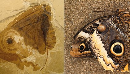 Jurassic-Era Insect Looks Just Like a Modern Butterfly