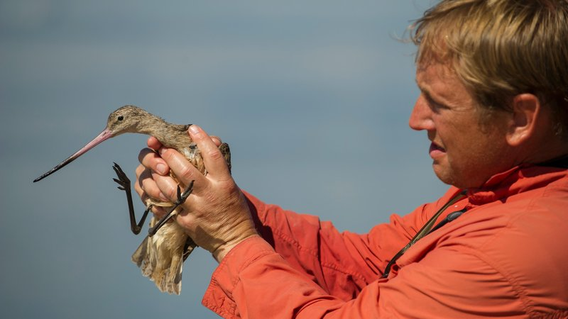 Marra with a marbled godwit on the south coast of Texas.