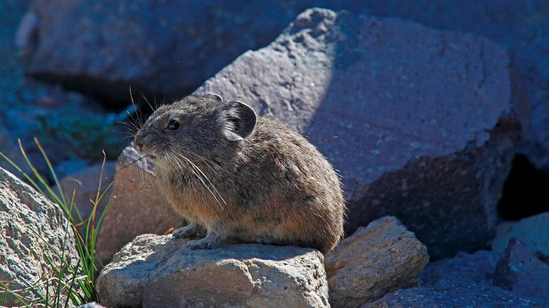 One more pika photo, for good measure.