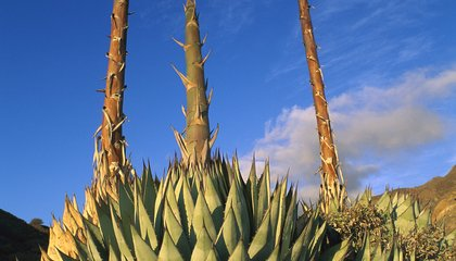 80-Year-Old Agave Plant About To Bloom