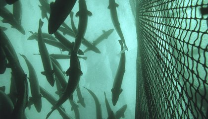 This New Carbon Capture Project Turns Carbon Dioxide Into Fish Food